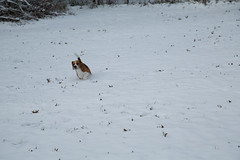 Beagles Playing in the Snow (RalphHightower) Tags: snow beagle weather digital canon unitedstates southcarolina zeus beagles 2014 ef24105f4lisusm canonef24105f4lisusm canoneos5dmarkiii eos5dmarkiii