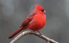 male cardinal northcarolina richmondcounty