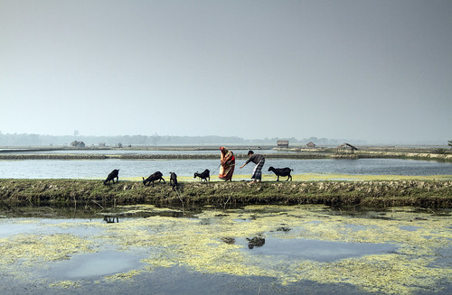 Managing the livestock in Khulna, Bangladesh. Photo by Felix Clay/Duckrabbit.