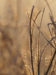 Golden hour ***-* (Titole) Tags: grass sunrise golden frost frosted givre favescontestwinner thechallengefactory storybookwinner friendlychallengessweep titole nicolefaton