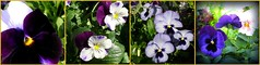 More pansies . . . (pawightm (Patricia)) Tags: austin texas inmygarden centraltexas midfebruary pawightm pansymosaic blueandpurpleblooms mosaic84421f3b0d4d088855a3497e85a7241035f91042