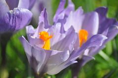 Pavilion_Gardens_0040 (Peter-Williams) Tags: uk flowers garden sussex countryside brighton crocus daffodil parkland carmelia paviliongardens
