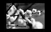 "The Japanese plum bloomed. (karakutaia) Tags: sun tree love nature japan paper temple japanese tokyo heart superb card e simply sogno rockpaper afotando ""flickraward"" flickrglobal elementsorganizer allbeautifulshotsandmanymoreilovenature flowerstampblackandwhite transeguzkilorestreetarturbanagreatshotthisisexcellentcontestmovementricohgxr""serendipitygroupbluenatureicapture flickraward5""j tra realtabstract"