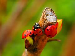 ladybugs (quarzonero ...Aldo A...) Tags: nature ladybug coccinella coth coth5 blinkagain bestofblinkwinners blinksuperstars sunrays5