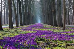1 Millionen Krokusse (Nefesh*) Tags: blue spring purple blumen crocus bremen frhling frhlingsblumen springflower nefesh mygearandme mygearandmepremium mygearandmebronze mygearandmesilver explored20140303
