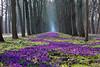 1 Millionen Krokusse (Nefesh*) Tags: blue spring purple blumen crocus bremen frühling frühlingsblumen springflower nefesh mygearandme mygearandmepremium mygearandmebronze mygearandmesilver explored20140303