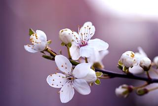 Blüte. Bloesem. Blossom. Hanami. 00.