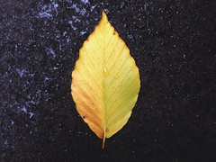 A Single Yellow Leaf (AnthonyTulliani) Tags: color fall nature iphone vscocam