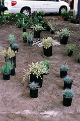 04560021-84 (jjldickinson) Tags: plant garden landscaping longbeach wrigley olympusom1 droughttolerant xeriscaping fujicolorsuperiaxtra400 lawntogarden promastermcautozoommacro2870mmf2842 promasterspectrum772mmuv roll490o2