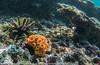 Tubastrea coccinea -  - orange cup coral - 2014 Galapagos.jpg