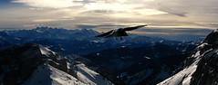 A crow flying above Mount Pilatus, Luzern, Switzerland
