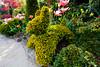 "Topiary ""dog"" - Taxus baccata 'Semperaurea' (Four Seasons Garden) Tags: uk england yellow marie garden four gold golden spring topiary seasons tony yew newton taxus walsall baccata fourseasonsgarden semperaurea"
