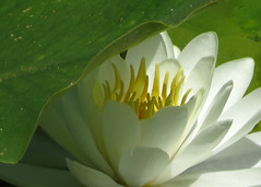 First Water Lily (deu49097) Tags: water spring lily
