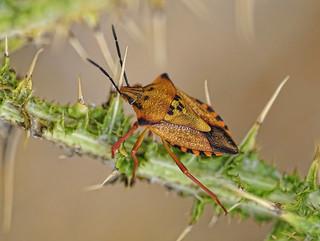 Carpocoris fuscispinus - Chinche de escudo