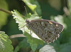 / Kirinia roxelana / Lattice Brown (katunchik) Tags: butterfly bulgaria schmetterling bulgarien nymphalidae bulharsko