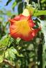IMG_4606 (cheryl's pix) Tags: california flowers flower berkeley botanicgarden botanicalgardens botanicalgarden botanicgardens berkeleyca berkeleybotanicalgarden ucbotanicalgarden universityofcaliforniabotanicalgarden universityofcaliforniabotanicalgardenatberkeley