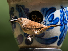 House Wren and chicks (and a snack) (malarchie) Tags: newjersey chicks flemington housewren