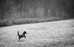 unbridled (Jen MacNeill) Tags: farm animal animals equine blackandwhite bw horse loose running gallop field happy joyful thoroughbred winter tail