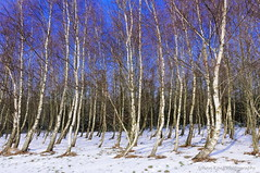 White Trees Blue Sky (Johan Konz) Tags: winter snow white trees tree birch blue sky outdoor landscape serene atmosphere nikon d90 purmerend netherlands
