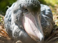 Stayer (H.H. Mahal Alysheba) Tags: shoebill bird animal zoo tokyo ueno lumix gx7 mzuiko 40150mmf28