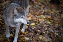 Loup et bokeh de feuilles (rondoudou87) Tags: loup wolf pentax k1 parc zoo reynou wildlife wild bokeh nature natur color couleur smcpda300mmf40edifsdm sauvage