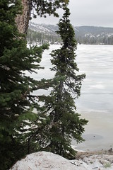 Icy Lewis Lake Tree (sprout2008) Tags: yellowstone tetons