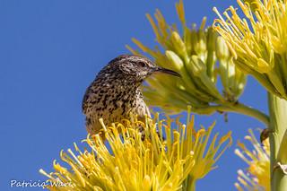 Cactus Wren Portrait