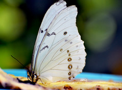 The butterfly (bbic) Tags: white butterfly garden wings alb fluture aripi
