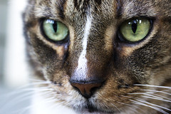 Hunter (DFChurch) Tags: pet cat feline tabby hunter