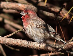 House-finch-non-breeding-male_1868 (Warbler_King) Tags: finches housefinch chicagobirds housefinchnonbreedingmale