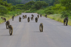 Baboon troop - Kruger National Park (Sheldrickfalls) Tags: southafrica baboon krugernationalpark mpumalanga krugerpark kruger baboons skukuza lowersabie lowersabiecamp baboontroop