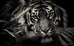 Fabi: Sumatran Tiger (CharlotteBoyleMedia) Tags: blackandwhite monochrome animal fur mammal eyes fierce stripes tiger bigcat hunter predator gaze 400mm animalhead explored canon550d