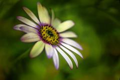 Swirl (Explored) (pollylew) Tags: flower macro texture flora osteospermum