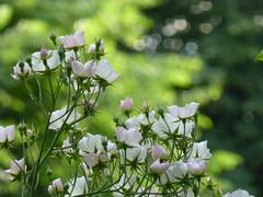 Bunch of pink roses (seikinsou) Tags: park pink light brussels summer flower rose belgium belgique bruxelles