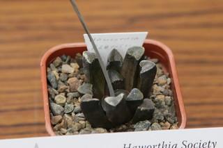 Haworthia bruynsii