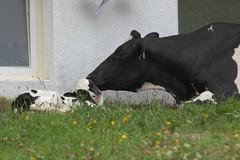mother and son (bob_52) Tags: cow san jacob alto montagna tyrol trentino vipiteno cucciolo adige sterzing