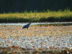 Fishing (Leslie Abram) Tags: ontario greatblueheron algonquinpark