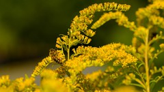 At Work (HeinzLustig) Tags: city flowers urban flower berlin ex nature field animal yellow germany photography tiere photo nikon natur feld wiese sigma blumen stadt blume berliner biene 105mm d600 nikond600