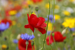 Heaven on Earth (Wilamoyo) Tags: flowers red color colour nature floral beauty field yellow closeup garden flora focus dof bokeh background blurred botany depth botanicals harlowcarrgardensharrogate