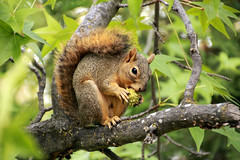 Breakfast (trifeman) Tags: wildlife t3i tamron canon sacramento california autumn fall rodent squirrel 2013