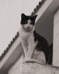 P1010655_bw (just_me78) Tags: bw cats nature animals cat tiere blackwhite natur katze schwarzweiss katzen