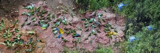 Macaw Clay Lick.Tambopata Research Center.Puno.Peru