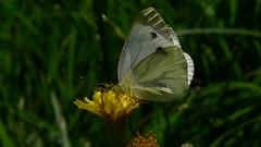Rapsweißling (Aah-Yeah) Tags: white green butterfly bayern schmetterling pieris achental veined napi chiemgau rapsweissling tagfalter marquartstein rapsweisling