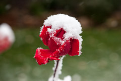 (mhawkins) Tags: snow rose firstsnow