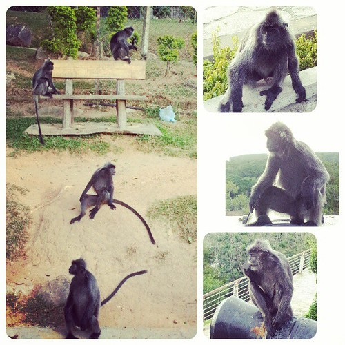 Lotsa monkeys here.. #monkeys #feasting #kualaselangor #feed #tourist #bukitmelawati