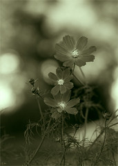 The Neighborhood by 85 mm (carl marques) Tags: duotone beaudelaire lesfleursdumal bwflowers douglaston nikond600 carlosmarques littleneckny nikon85mm18g