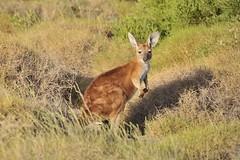 Wild kangaroo (Julien Falissard) Tags: wild nature animal natural n australia kangaroo aus herbe australie plaine sauvage naturel kangourou 2013