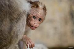 Bonnet Macaques (madrones) Tags: travel family india infant asia karnataka mammals ka southasia in srirangapatna mandya wildlifephotography