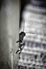 cavalletta (Paolo Perco Thank you all for + 1.000.000 visits!!) Tags: light wild portrait white black macro verde green nature colors closeup casa italia sony natura bugs adventure campagna autunno colori bianco ritratto botanica nationalgeographic insetti friuli gorizia caldo cavalletta contrasti friuliveneziagiulia locusta avventura friul tranquillit selvaggio afotando beautifulmonsters naturaperfetta sonysti sonya77 blinkagain chiarosccuro