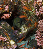 moraywcardinals2845 (gerb) Tags: topv111 coral 1025fav wow mexico cool topv555 topv333 underwater lovely1 scuba loveit reef lapaz animalplanet moray seaofcortez tvp cardinalfish greenmoray cupcoral elbajo d7000 sigma1017fe